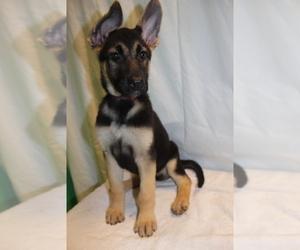 German Shepherd Dog Litter for sale in PATERSON, NJ, USA