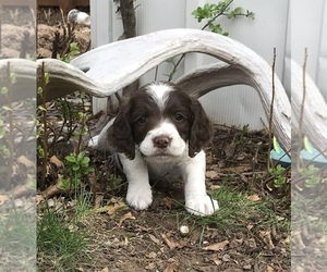 English Springer Spaniel Litter for sale in WINDSOR, CO, USA