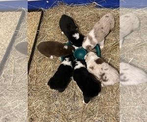 Australian Shepherd Litter for sale in BEL AIR, MD, USA