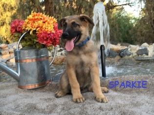 German Shepherd Dog Litter for sale in HEMET, CA, USA