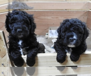 Miniature Bernedoodle Litter for sale in CAMERON, MT, USA