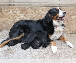 Bernese Mountain Dog Litter for sale in WESTCLIFFE, CO, USA