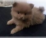 Pomeranian Puppy For Sale in SPARTANBURG, SC, USA