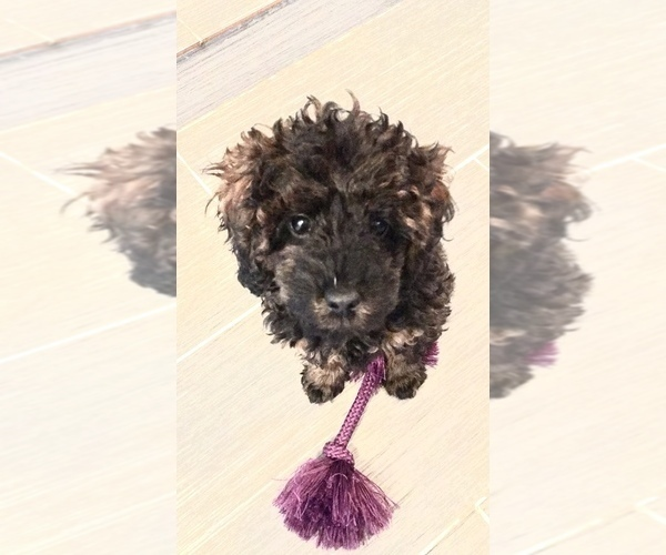 Medium Photo #1 Poodle (Toy) Puppy For Sale in BALTIMORE, MD, USA