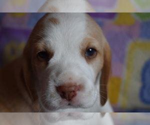 Beagle Litter for sale in REASNOR, IA, USA