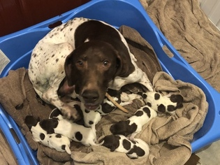 German Shorthaired Pointer Litter for sale in PERRY, KS, USA