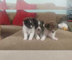 Shetland Sheepdog Litter for sale in CHICAGO, IL, USA