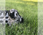Sheepadoodle Puppy For Sale in WAVERLY, IA, USA