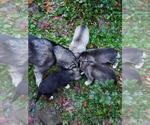 Small Photo #1 Wolf Hybrid Puppy For Sale in HARRISON, AR, USA