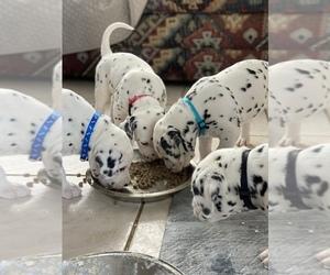 Dalmatian Litter for sale in ALBUQUERQUE, NM, USA