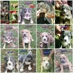 American Bully Puppy For Sale in WILLISTON, FL, USA
