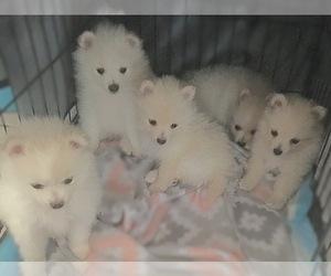 Pomeranian Litter for sale in EL PASO, TX, USA