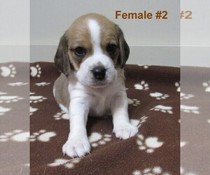Beagle Litter for sale in MORRILL, KS, USA