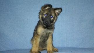 German Shepherd Dog Litter for sale in LOGAN, OH, USA