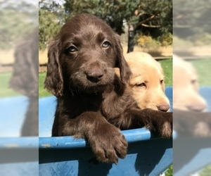 Labradoodle Litter for sale in REXBURG, ID, USA