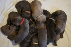 Cane Corso Puppy For Sale in MAULDIN, SC, USA