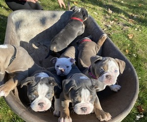 Olde English Bulldogge Litter for sale in MANCHESTER, MI, USA