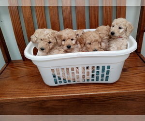 Goldendoodle-Poodle (Miniature) Mix Litter for sale in NORTH LIBERTY, IN, USA