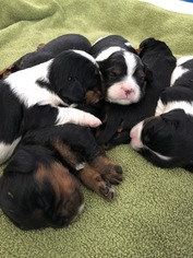 Cavalier King Charles Spaniel Litter for sale in RICHMOND, VT, USA