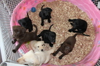 Labrador Retriever Puppy For Sale in VIRGINIA BEACH, VA, USA