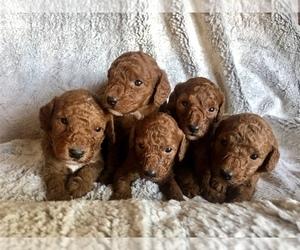 Poodle (Miniature) Litter for sale in PHOENIX, AZ, USA