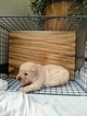 English Cream Golden Retriever  Puppy For Sale in ALEXANDER SPR, PA, USA