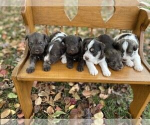 Schnauzer (Miniature) Litter for sale in NIANGUA, MO, USA