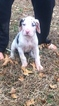 Great Dane Puppy For Sale in DECATUR, AL, USA
