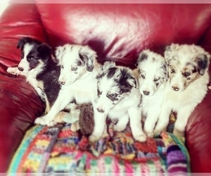 Border Collie Litter for sale in ALSEA, OR, USA