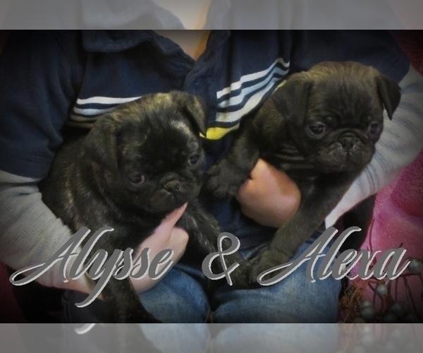 Medium Photo #1 Pug Puppy For Sale in ELVERSON, PA, USA