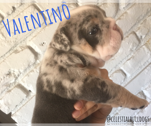 Bulldog Litter for sale in NORCO, CA, USA
