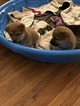 Shiba Inu Puppy For Sale in INVER GROVE, MN, USA