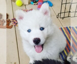 Siberian Husky Litter for sale in AURORA, CO, USA