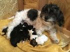 Havanese Puppy For Sale in MILLERSBURG, IN, USA
