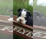 Small Faux Frenchbo Bulldog