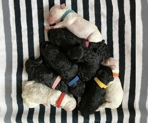Goldendoodle Litter for sale in LAKEWOOD, WA, USA