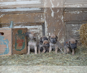 Great Dane Litter for sale in LEWISTOWN, PA, USA