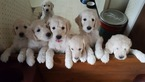 Goldendoodle Puppy For Sale in GRANDVIEW, MO, USA