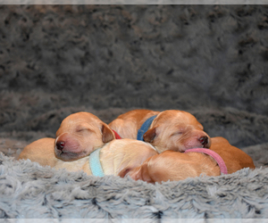 Goldendoodle Litter for sale in GRANITE BAY, CA, USA