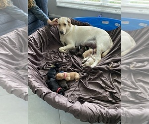 Labrador Retriever Litter for sale in DADE CITY, FL, USA