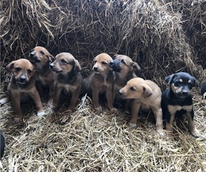 Australian Cattle Dog-Labrador Retriever Mix Litter for sale in KALONA, IA, USA