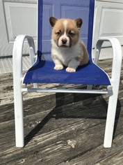 Pembroke Welsh Corgi Litter for sale in HONEY BROOK, PA, USA