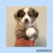 Miniature Australian Shepherd Puppy For Sale in ELKTON, KY, USA