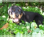 Rottweiler Puppy For Sale in FITZWILLIAM, NH, USA