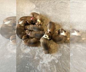 Boxer Litter for sale in GLENN, CA, USA