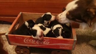 Border Collie Litter for sale in AIKEN, SC, USA