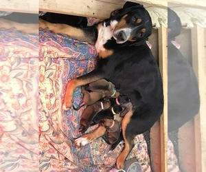 German Shepherd Dog-Greater Swiss Mountain Dog Mix Litter for sale in IRONDALE, MO, USA