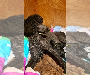 Poodle (Standard) Litter for sale in LITHIA, FL, USA