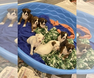 Boxer Litter for sale in LEWISTOWN, PA, USA