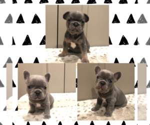 French Bulldog Litter for sale in SACRAMENTO, CA, USA